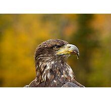Immature Bald Eagle  Photographic Print