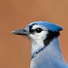 Blue Jay Portrait  by Daniel  Parent