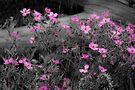 PINK by Sandy Stewart