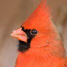 Attention Mr. Cardinal  by Daniel  Parent