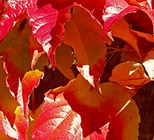 Brilliant autumn red vine leaves growing on a wall by Michael Brewer