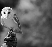 Barn Owl by KayVee