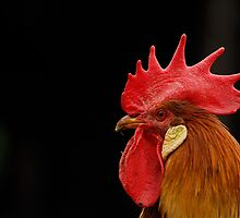 Rooster at Acton Scott Historic Working Farm by DavidKennard