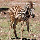 """""""Wobbly legs - Zebra Dubbo Zoo"""" by Leonah"""
