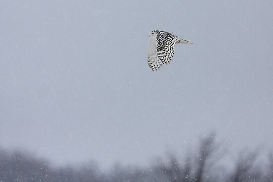 Snowy owl...high above the treetops by Jim Cumming