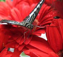 Butterfly on Red Flower by Malcolm Roberts