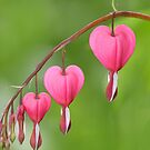 Bleeding Hearts by snehit