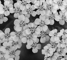 BW Mini Flowers by Tricia Stucenski