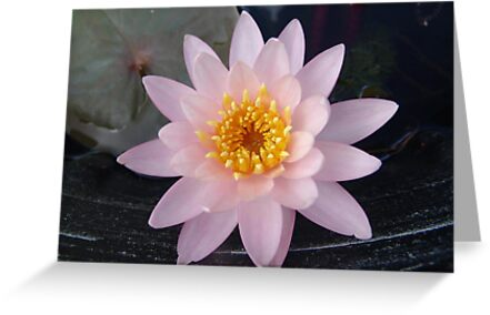 Pink Waterlily by May Lattanzio