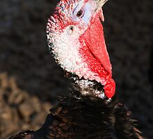 A proud turkey by Michael Brewer