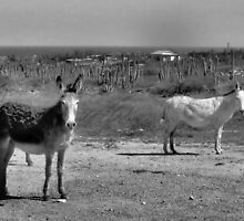 Wild Donkeys by Carrie Bonham