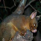 Ring-tailed Possum by Matthew Sims