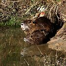 Nutria Trio & Reflection by Bonnie Robert
