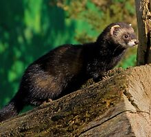 Polecat by Gill Langridge