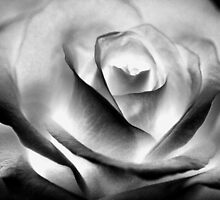 study of a rose .... (series) by SNAPPYDAVE
