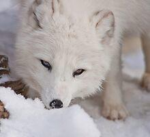 Arctic Fox by Jay Ryser