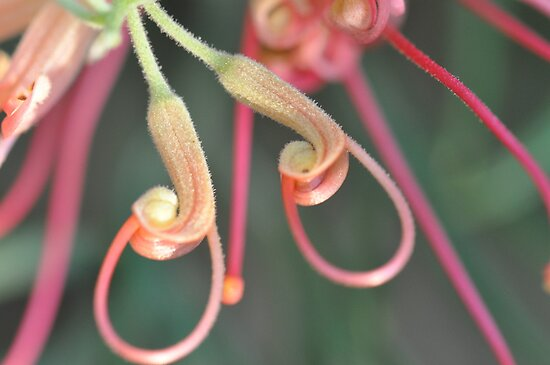 Grevillea At Sunset by MissyD