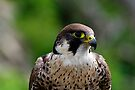Peregrine falcon portrait by buttonpresser