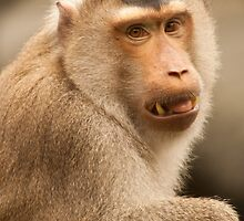 Formosan macaque portrait by tara-leigh