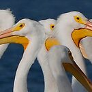 A Bouquet of Pelicans by BocaTox