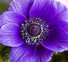 Purple Glory by Lynne Morris