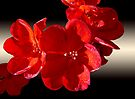 Light on Red Geranium by Lucinda Walter