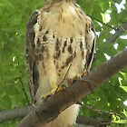 Another tree shot for the red-tailed hawk at Rhode Island Hospital by deborahpuerini