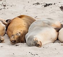 Sleeping Sea Lions by tara-leigh