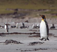 King Penguin by tara-leigh