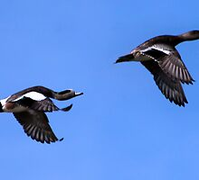 American Wigeons Flying to a Safe Feeding Area  by Chuck Gardner