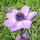 One Delicate Pale Lilac Anemone Coronaria Wild Flower by taiche