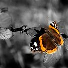 Admiral, Red Admiral Butterfly. by Simon Hackney