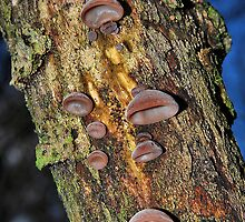 Jelly ear by relayer51
