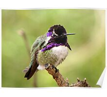 Costa's Hummingbird ~ Male Poster
