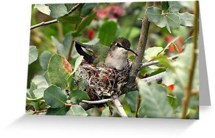 Costa's Hummingbird ~ Female; Nesting by Kimberly Chadwick