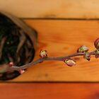 Budding Blueberries by peacegirl