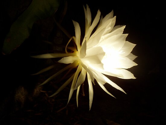 Queen of the night by torch light  by Jennie Newman