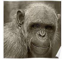 Chimpanzee Portrait Poster