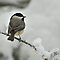 Black Capped Chickadee in Winter Snow by Michael Mill
