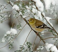 American Goldfinch in Winter Snow by Michael Mill
