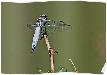 Dragonfly by Michael  Moss