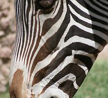 Zebra up Close... by RichImage