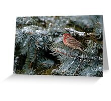 Male House Finch - Ottawa, Ontario Greeting Card