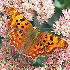 Comma butterfly by John Keates