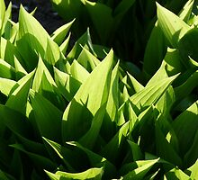 Flower-bed of lilies of the valley not yet blooming. by Marc Specht