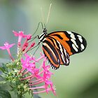 Tiger Longwing Butterfly  by DutchLumix