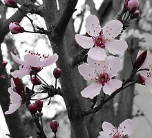 Plum Blossoms~ First Sign of Spring by Kristin Nichole Hamm