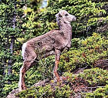 Stone Sheep by Vickie Emms