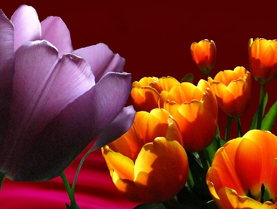 Tulips on Red by maxy