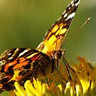 Painted Lady Butterfly by kellimays
